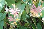 Blüten einer Etrusker Heckenkirsche(Lonicera etrusca(L.))