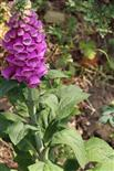 Roter Fingerhut(Digitalis purpurea(L.))