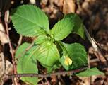 Kleines Springkraut(Impatiens parviflora(DC.))