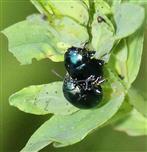 Minzeblattkäfer(Chrysolina herbacea(Duftschmid 1825)) in Kopula