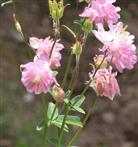 Akelei(Aquilegia) rosafarben