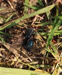 Toten- oder Friedhofsfliege(Cynomya mortuorum)