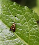 Degeers Langfühler(Nemophora degeerella(Bruand 1851))