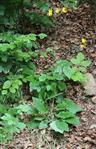 Wald-Habichtskraut(Hieracium murorum(L.))