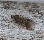 Busch-Glasflügelzikade(Cixius cunicularis(L.))