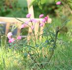 Kleiner Rosenstrauch mit rosafarbenen Blüten(Rosa(L.))