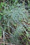 Ackerschachtelhalm(Equisetum arvense(L.))