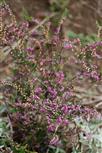 Besenheide(Caluna vulgaris(L.) Hull)
