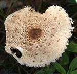 Angenagter Schirm eines Parasol bzw. Riesenschirmling(Macrolepiota procera(Scop.;Fr.)Singer)