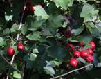 Beeren des eingriffeligen Weißdorns(Crataegus monogyna(Jacq.))