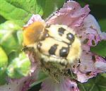 Gebänderter Pinselkäfer(Trichius fasciatus)