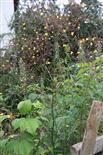 blühender Kompasslattich(Lactuca serriola(L.))