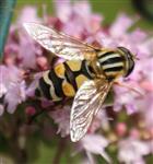 Große Sumpfschwebfliege(Helophilus trivittatus(Fabricius 1805)) weiblich