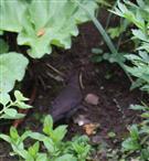 Weibliche Amsel(Turdus merula(L. 1758)) bei ihrer Nahrungssuche