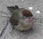 Weibliche Mönchsgrasmücke(Sylvia atricapilla(L. 1758)) etwas benommen