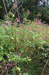 Drüsiges Springkraut(Impatiens glandulifera(L.)) fast als Waldsaum