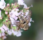 Fliege(Coenosia attenuata)