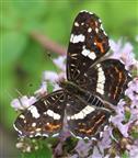 Landkärtchen(Araschnia levana(L. 1758)) f. prorsa)(Sommerform)