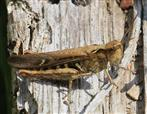 Steppengrashüpfer(Chorthippus vagans(Eversmann 1848))