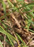 Steppengrashüpfer(Chorthippus vagans(Eversmann 1848)) im Gras
