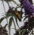 Schwalbenschwanz(Papilio machaon(L. 1758)) 1