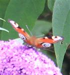 Tagpfauenauge(Aglais io(L. 1758)) auf Sommerflieder