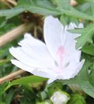 Blüte der weißen Moschus-Malve(Malva moschata(L.) Alba)