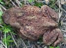 Erdkröte(Bufo bufo(L. 1758))