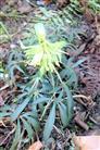 Schnee- bzw. Christrose(Helleborus niger(L.))