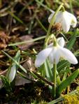 Gefülltes Schneeglöckchen(  Galanthus nivalis