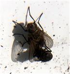Stubenfliege(Musca domestica(L. 1758)) in Kopulation