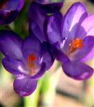 Blüten des Elfenkrokus, Dalmatiner Krokus(Crocus tommasinianus(Herb.))