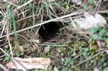 Loch bzw. Gang eines Baues einer (Wald-)Maus