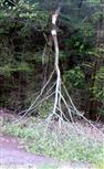 Windwurf einer Sal-Weide(Salix caprea(L.))