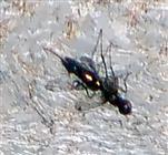 Schwarzglänzende Schwingfliege(Sepsis fulgens) in der Nähe des Komposthaufens