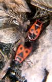 Zwei Gemeine Feuerwanzen(Pyrrhocoris apterus(L. 1758)) in Kopula