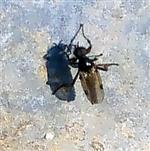 Wollige Haarmücke(Bibio lanigerus)