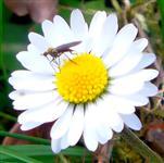Tanzfliege(Empis) auf Gänseblümchen(Bellis perennis(L.))