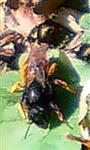 Schneckenhaus-Mauerbiene(Osmia bicolor(Schrank 1781))