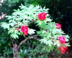 Gemeine Pfingstrose(Paeonia officinalis(L.))