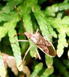 Wacholder-Randwanze(Gonocerus juniperi(Herrich-Schäffer 1839)