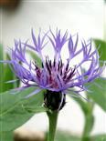 Blüte einer Berg-Flockenblume(Cyanus montanus(L. )Hill)