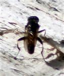 Gemeine Langbauchschwebfliege(Xylota segnis(L. 1758))