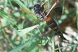 Holz- oder Schwarze Kammschnake(Tanyptera atrata(L. 1758)) Unterseite