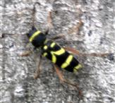 Der Gemeine oder Echte Widderbock(Clytus arietis(L. 1758))
