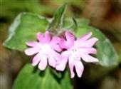 Blüten der Roten Lichtnelke(Silene dioica(L.)Clearv.)