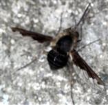 Großer Wollschweber(Bombylius major(Latreille 1802)) ruhend