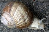 Weinbergschnecke(Helix pomatia(L. 1758)) unterwegs