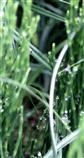 Guttation nach Morgentau und Nässe an Ackerschachtelhalmen(Equisetum arvense(L.))
