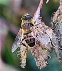 Mistbiene(Eristalis tenax(L. 1758))(weiblich) auf Buchecker